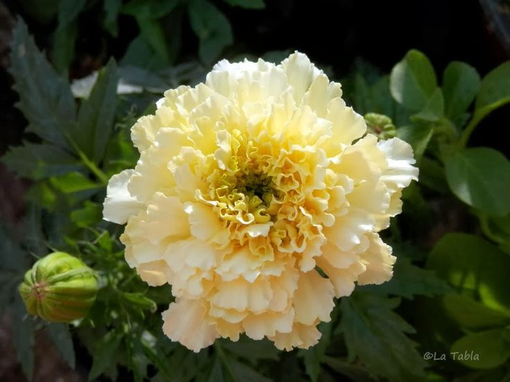 El Blog de La Tabla: Tagetes erecta 'Sweet Cream'