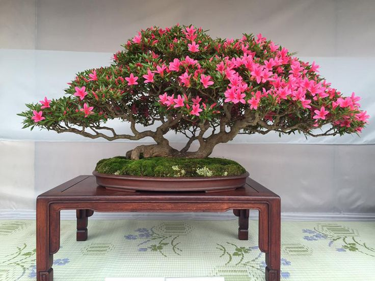 Not to Swamp You with So Many Flowering Bonsai… | Bonsai Bark