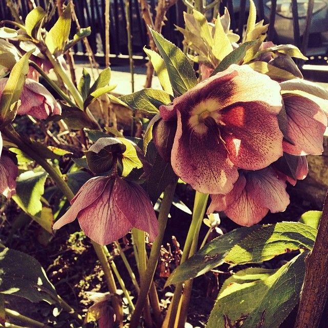 Die Lenzrosen sind ganz klar unter unseren Lieblings-Frühlingsboten :-)