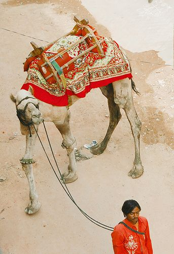 INDIA: camel in red