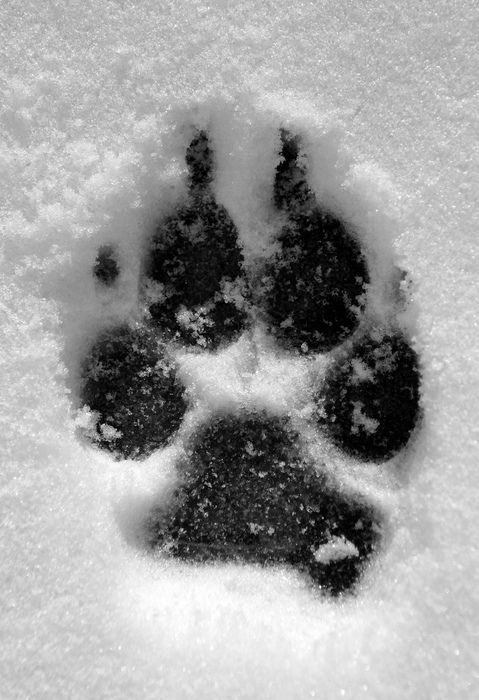 Paw print in the snow.