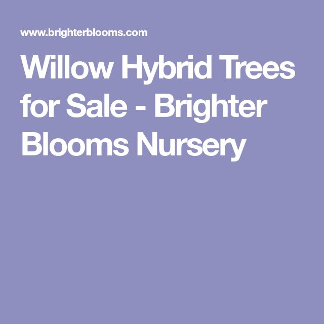 Willow Hybrid Trees for Sale - Brighter Blooms Nursery
