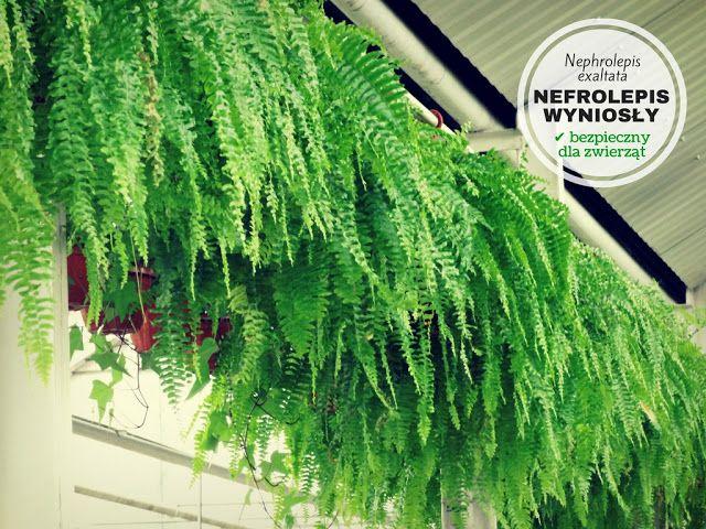 Rosliny Doniczkowe Bezpieczne Dla Psa I Kota Plants Nature Herbs