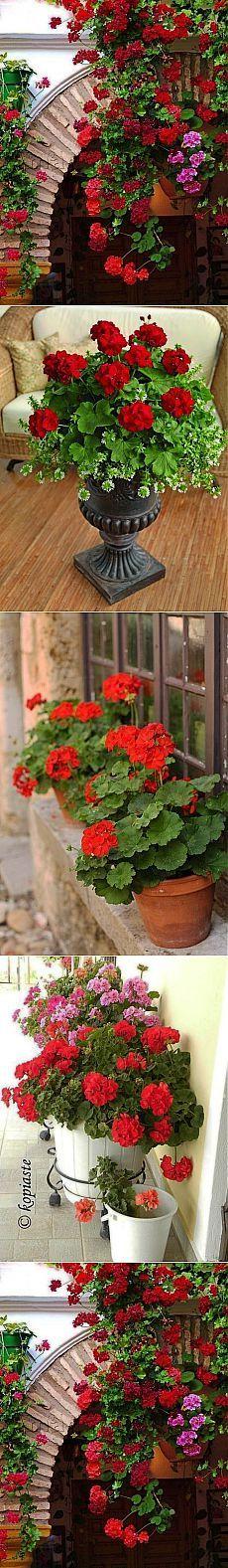 Чтобы герань всегда радовала цветением, нужна 1 капля йода....