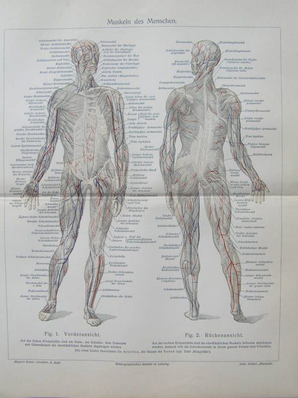 Antique print human anatomy muscle muscles Spier 1906