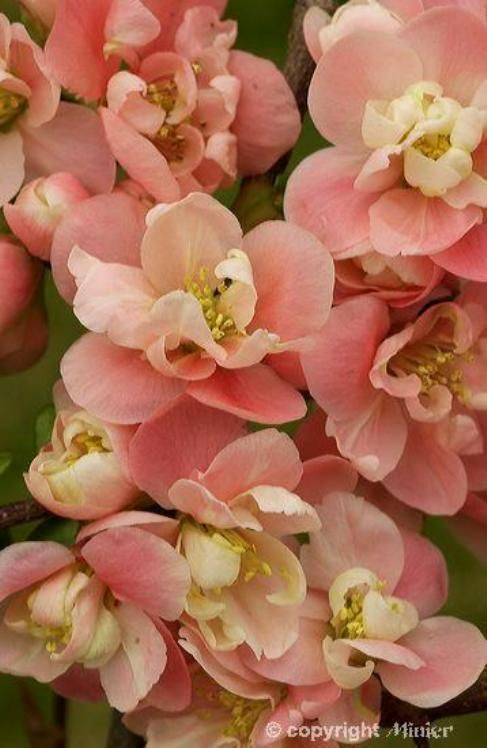 Flowering Quince (Chaenomeles) 'Falconnet Cha'; Chaenomeles is a genus of three species of deciduous spiny shrubs, usually 1–3 m tall, in the family Rosaceae. They are native to Japan, China, Bhutan, and Burma