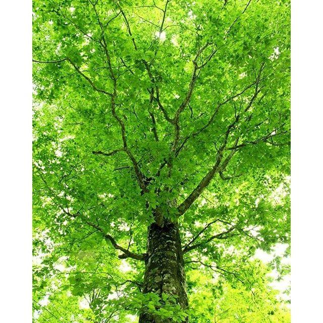 """【soraironooka】さんのInstagramをピンしています。 《""""Queen of the Forest""""と呼ばれる、美しい樹相のブナ、ひとの営みを見守るように  #風景 #空 #森 #樹木 #木 #信州小諸 そらいろの丘》"""
