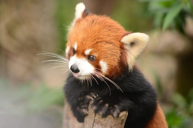 12 Furry Facts About Red Pandas   via Mental Floss
