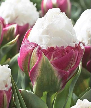 Tulip Ice Cream is a blue ribbon winner in any garden display and an exotic-looking variety that you'll enjoy for many years. This bulb is unique and not readily found in markets. Plant in a high traffic area to enjoy as often as possible. Blooms late spring.