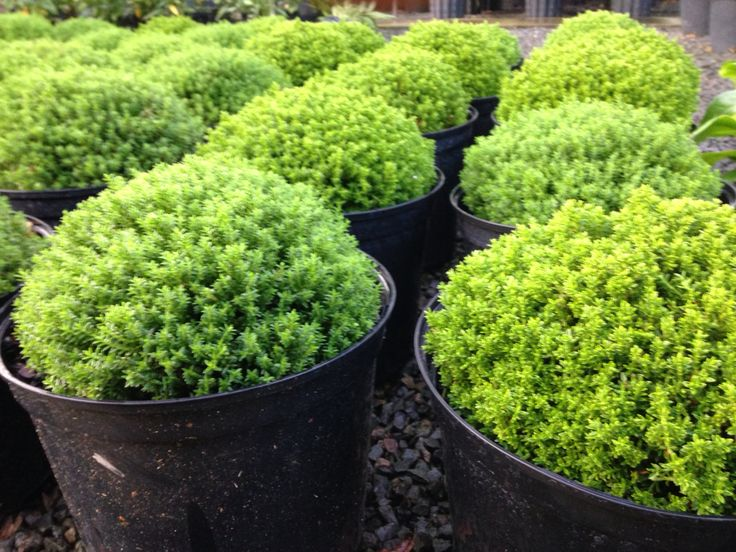 hebe green globe plants pinterest. Black Bedroom Furniture Sets. Home Design Ideas