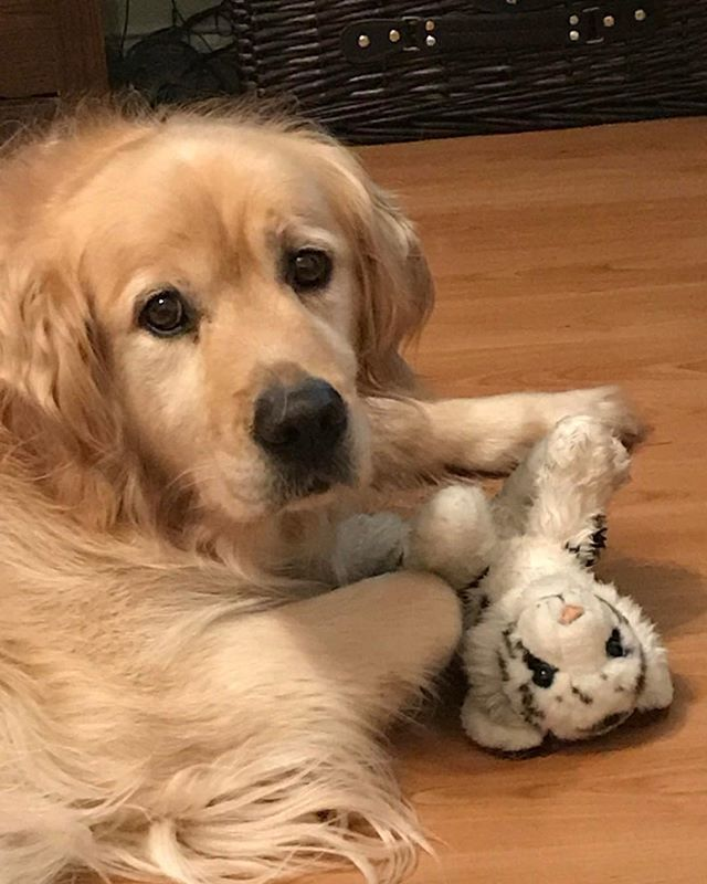 Photo By Connor9994884 On Reddit Golden Doggo And His Lil Toy