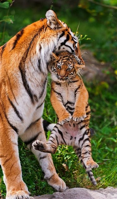 Tiger mum: 'Come on, little one. It's time for dinner. You can go back to playing with your friends afterwards.' Cub: 'Awww, mu-u-u-m.'