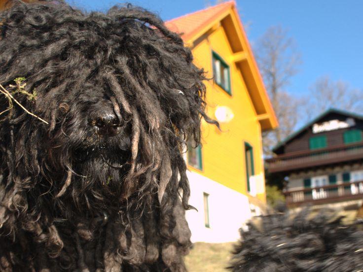 Der Puli, Ungarischer Hirtenhund   Hairy Beau's Pulis
