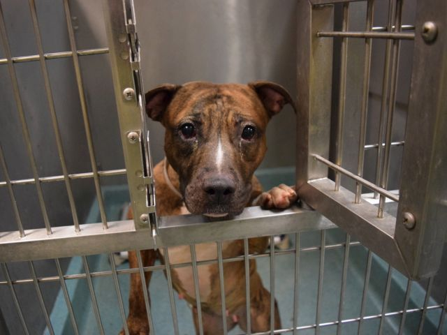 A1099306_Ronda What a sweet, cuddly, gentle girl. I would bring her home myself if I could. Ronda is an absolute cuddle queen–on our walks, every time I bend down even for a second, she immediately puts her head on my lap and snuggles up. She far prefers affection to running around, and will check in with me all the time while we're walking.