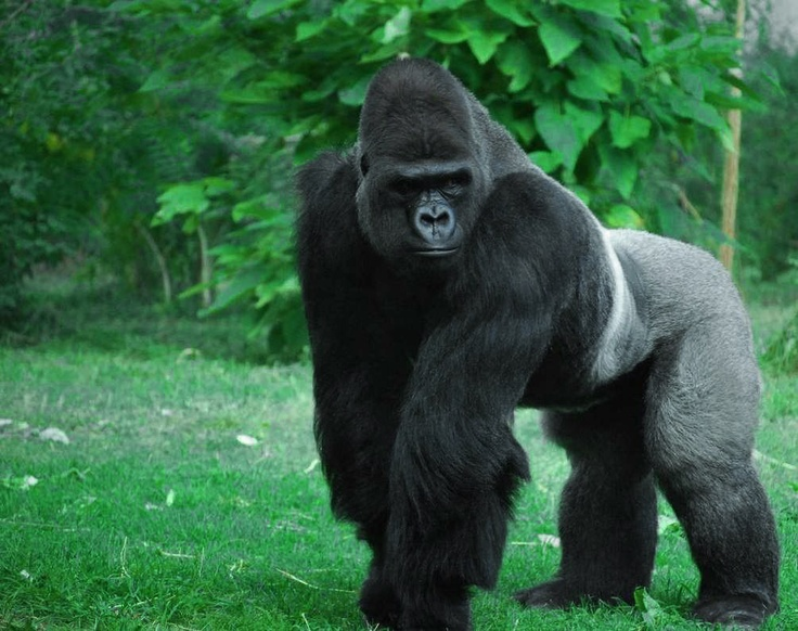 Angry Silverback Gorillas Message Board Basketba...