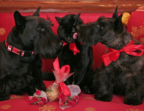 The White House Dogs, Barney and Miss Beazly, celebrate VDay hard with India, the First Kitty. (2007)