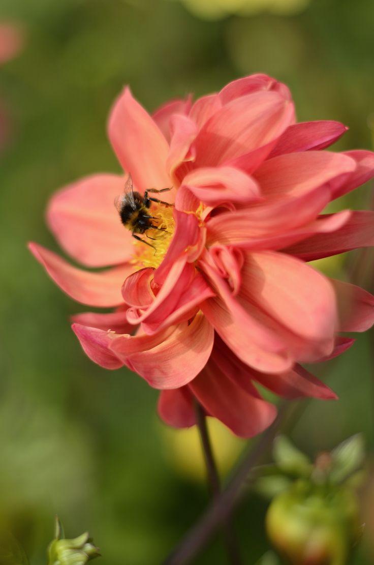 Dahlia with bumblebee