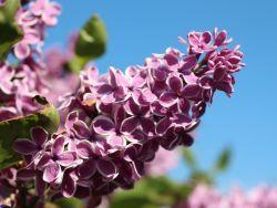 Edelflieder 'Sensation' Syringa vulgaris 'Sensation'