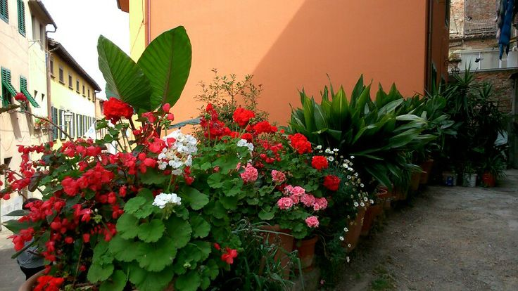 Flowers in Montecarlo, Lucca