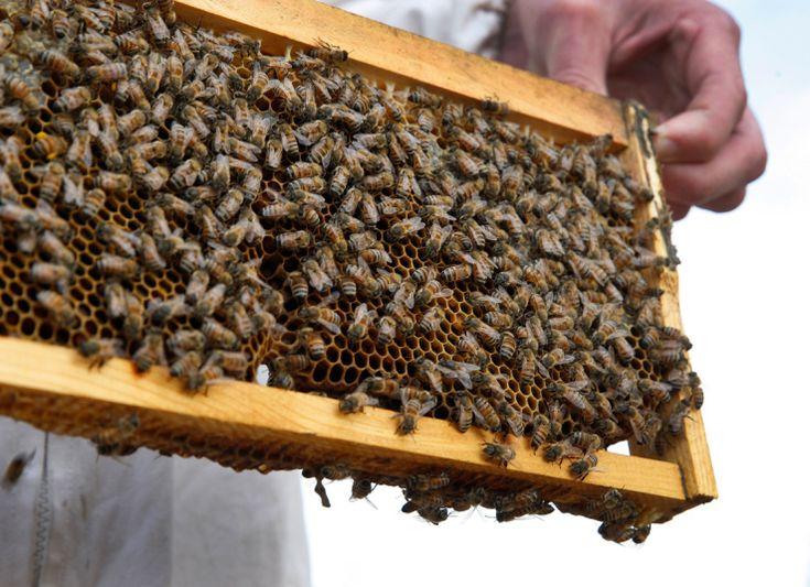 ディープラーニングで蜂たちを致死的な害虫から救う養蜂家作のアプリBeeScanning   TechCrunch Japan