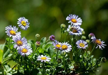 Erigeron glaucus seaside daisy  Gallery - Bay Natives: Bring Nature Into Your Life