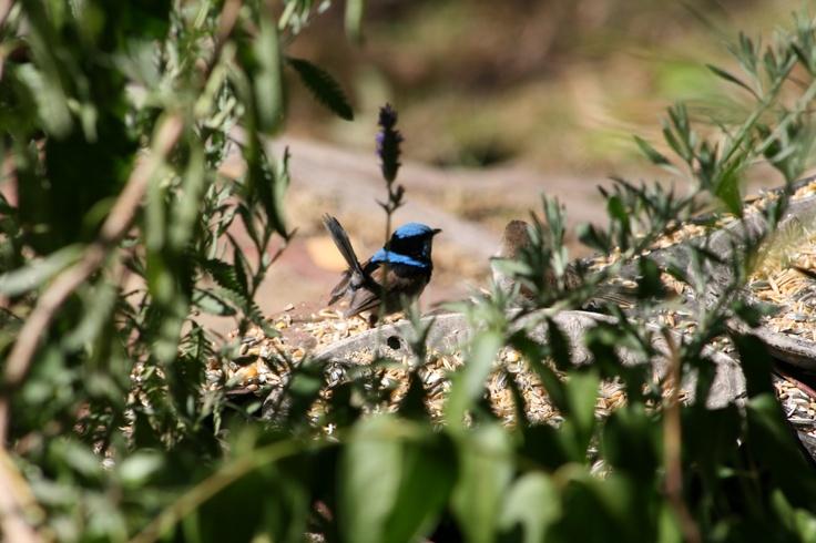 Blue Fairy Wren