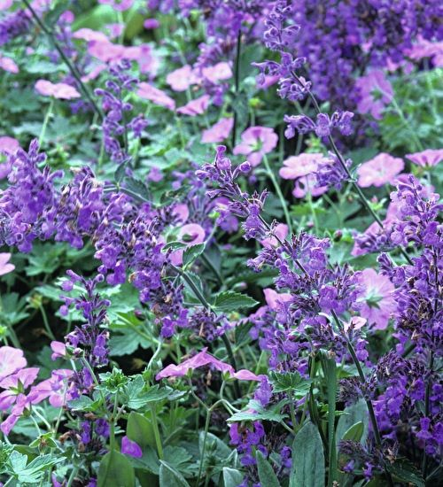 An excellent semi-evergreen perennial geranium with soft grey-green leaves and long stems of lovely clear pink flowers.