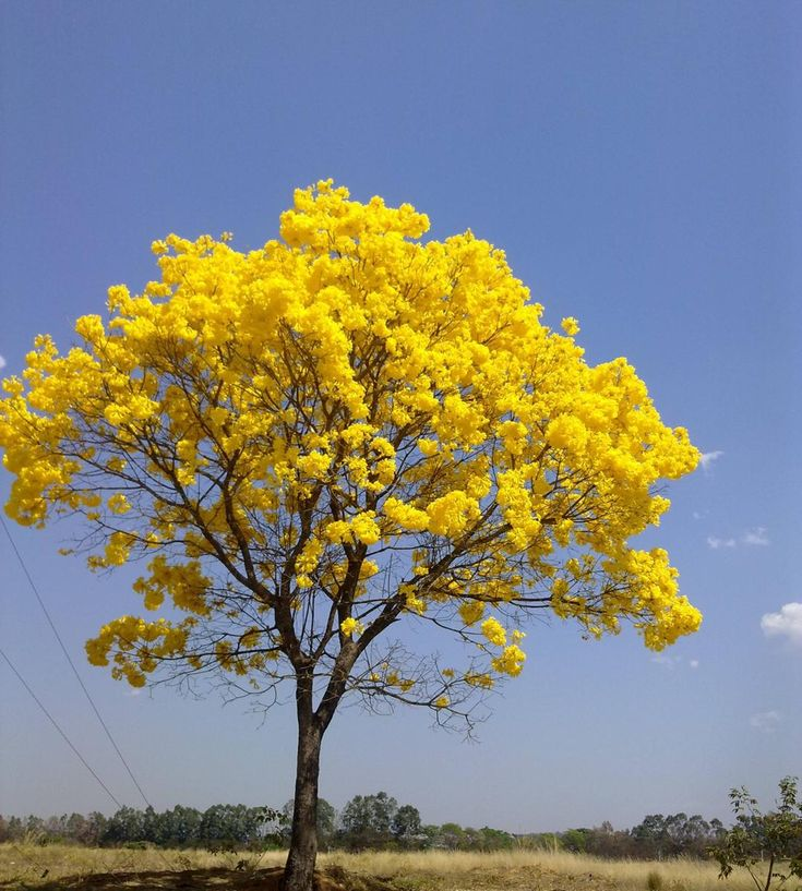 Imgur: awesome yellow tree                                                                                                                                                                                 Mais