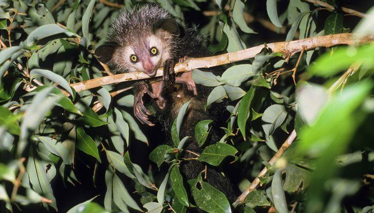 Das Aye-Aye-Aye-Ayes (Daubentonia madagascariensis), auch Fingertiere genannt, bleiben nicht immer so klein wie auf diesem Bild: Mit zunehmendem Alter werden die Primaten aus der Gruppe der Lemuren erstaunlich groß und wuchtig. Das Aye-Aye ernährt sich am liebsten von Larven des Afrikanischen Schusslochbohrers, die etwa zehn Zentimeter tief im warmen Baumstamm leben. Mit seinem knochigen Mittelfinger klopft es die Stämme ab, bis eine Made gefunden ist.