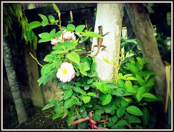 At home, a garden lizard