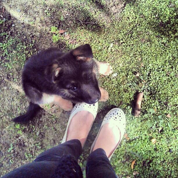 Baby german shepherd<3