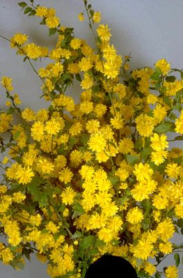 Note To Self This Is The First Yellow Shrub