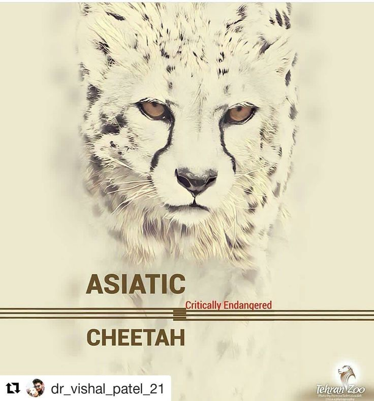 #Repost @dr_vishal_patel_21 (@get_repost)  Cheetah is the fastest felid species in the world with five recognized subspecies four in Africa & one in Asia in Iran.  Unfortunately the Asiatic cheetah(Acinonyx jubatus venaticus) aka Iranian cheetah is critically endagered & few 30-40 individuals like remain in the world only in Iran. We hope to be successful in conservation of this beautiful animal.  Asiatic cheetah forever.  Photo:Koushki the only male Adiatic cheetah in captivity…