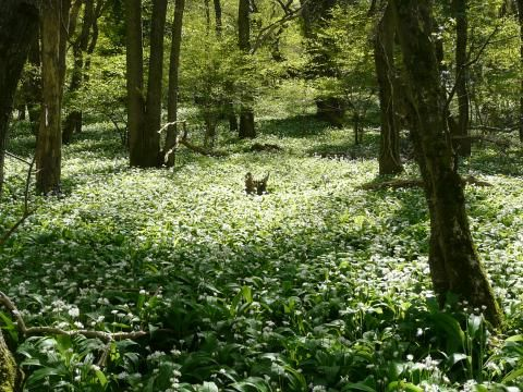 Ramsons: come to your senses | Peter Orchard