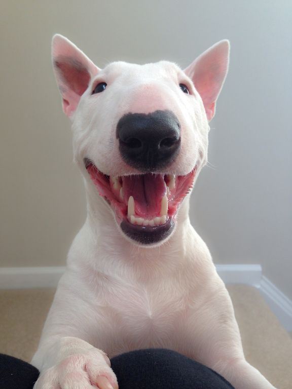 This Miniature Bull Terrier dog really knows how to smile for the camera :)