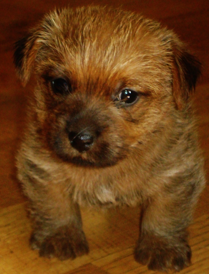 Priddy s home border terrier pictures.