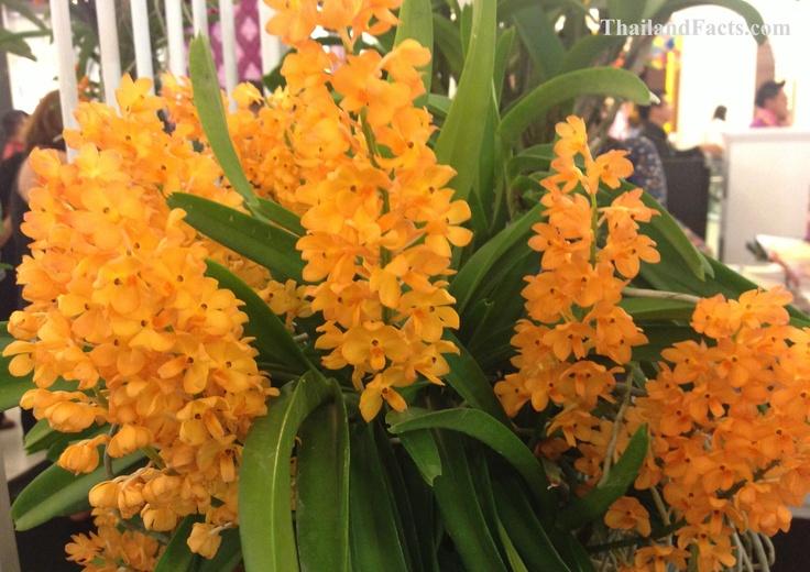 ThailandFacts.com orange orchid