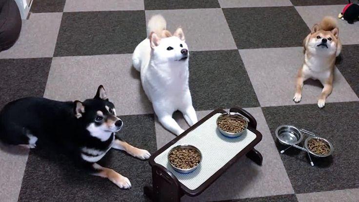 Tre cani hanno una gran fame e fanno dei salti in stile canguro per poter arrivare alle ciotole. Ma, nonostante tutta questa passionalità, i tre dimostrano un gran autocontrollo.