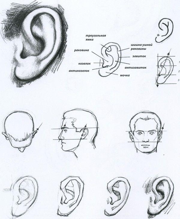 Как научиться рисовать уши