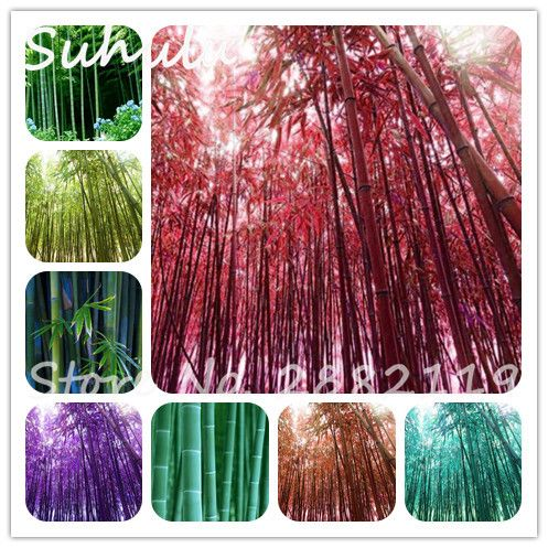 30pcs Color Bamboo Seeds moso bamboo Giant Phyllostachys pubescens Bamboo Seed,Ornamental Plant for home garden mix colors