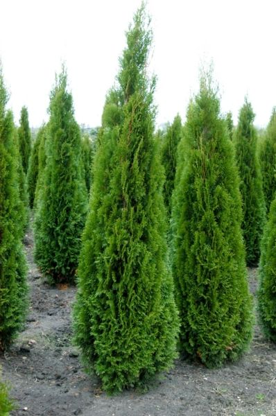 thuja occidentalis smaragd google pinterest thuja occidentalis shrub and. Black Bedroom Furniture Sets. Home Design Ideas