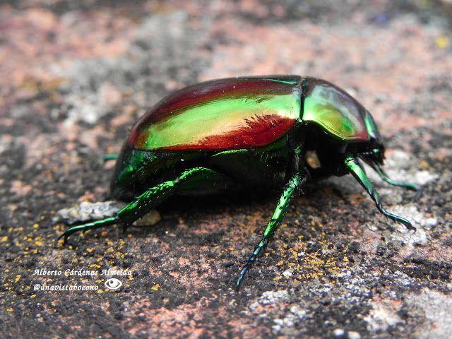 Escarabajo Esmeralda #Boconó #Trujillo. Foto tomada en los jardines del museo.