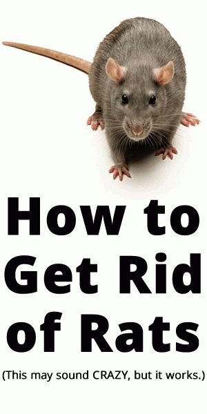 How to get rid, Rats and How to get on Pinterest