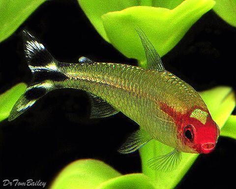 Beautiful Tetras-Rummynose Tetra, Featured item. #rummynose #tetra #fish…