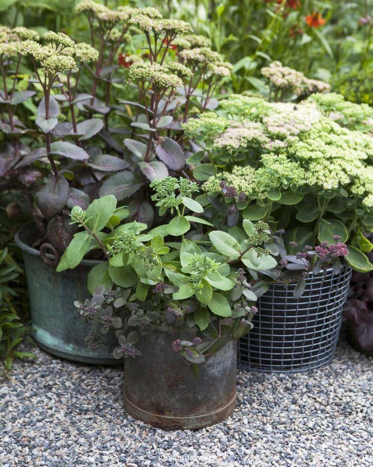 Det är skönt att ha krukor med växter som sköter sig själv i stort sett. Och det är skönt att växterna kan hänga med år från år. Perenner i kruka är oslagbart i längden. Antingen för att återvända …