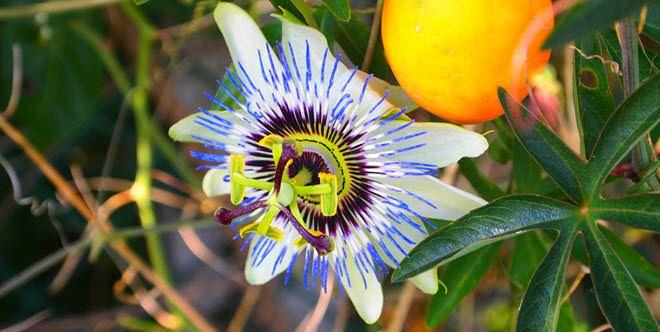 Flor de la pasión.  flores mas hermosas del mundo flor de la pasion