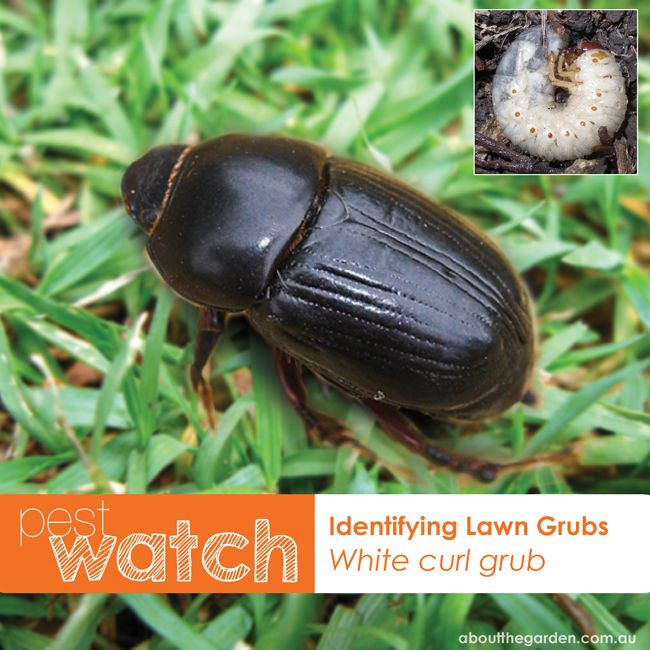 PEST WATCH - did you know there are 2 types of lawn grubs?  This is the 'White curl grub', the larvae of the 'African Black Beetle'. White curl grubs live beneath the soil surface and feed on the healthy roots of grass and are often mistakenly identified as 'witchetty grubs'. For treatment of lawn grub infestations http://www.aboutthegarden.com.au/index.php/healthy-lawns-lawn-grub-treatment/  #aboutthegarden #lawn #yard #garden #grass #pest #solutions #grub #identify