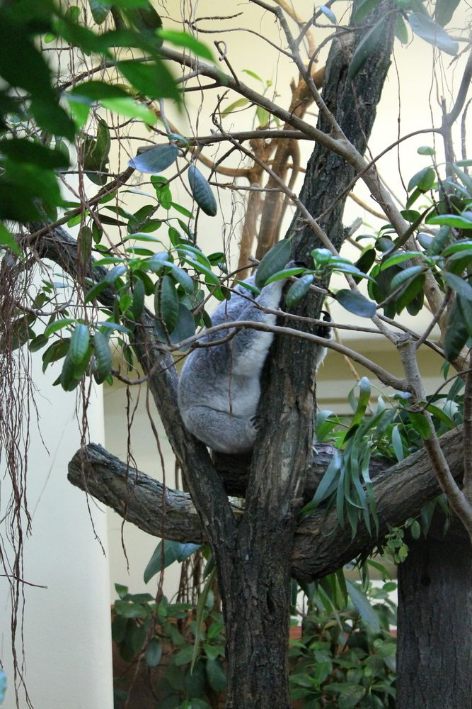 koala w ZOO w Wiedniu