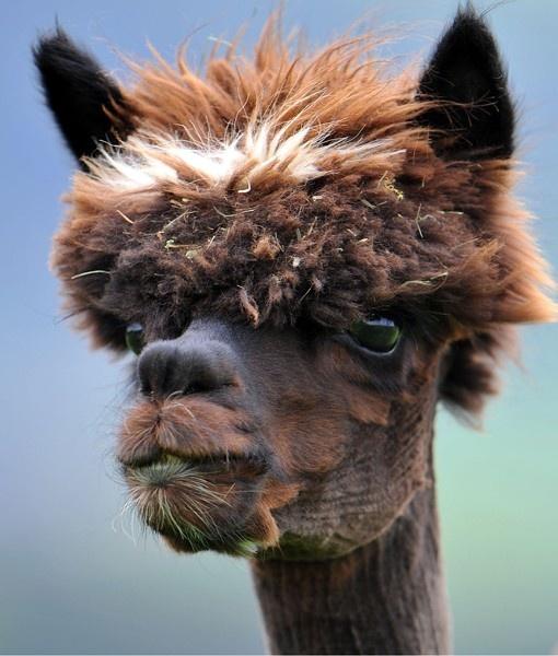 Austrian Alpacas Rock Retro Hairdos - PawNation