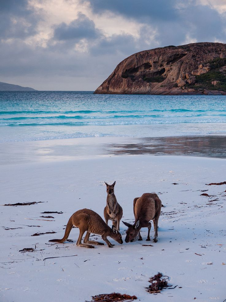 Kangaroos, Lucky Bay, Cape Le Grand National Park, Australia